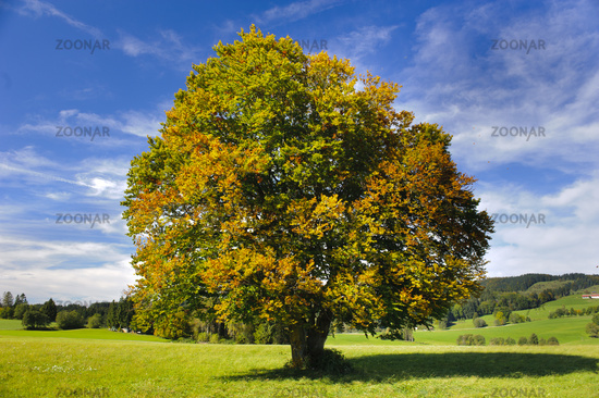 single big beech tree in autumn