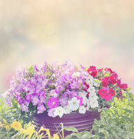 Pot of petunia flowers