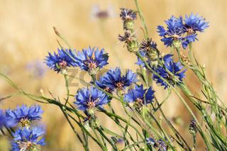 Blüten der Kornblume in einem Getreidefeld