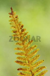 Adlerfarn (Pteridium aquilinum)
