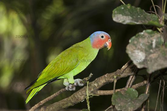 Rotkopf-Papagei, Papua Neuguinea