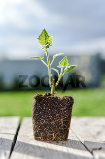 Young green sprout of a Paulownia tree is ready for planting. Beautiful fast-growing tree that is gaining popularity around the world