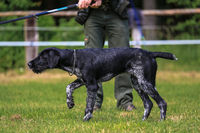 German Wirehaired Pointer is pointing