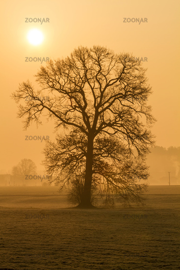 Bald tree in the morning fog