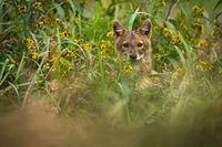 Golden jackal peeking out of long grass in summer.