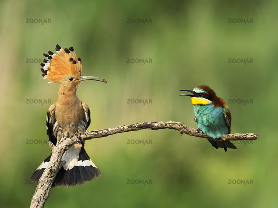 Eurasian hoopoe and Bee-Eater looking each other