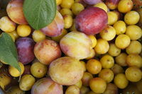 mirabelles and plums