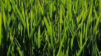 Bright green grass in the sunlight.