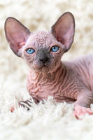 Portrait of funny Canadian Sphynx Cat kitten looking at camera, lying on white carpet