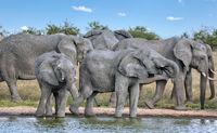 elephants at a waterhole, Etosha National Park, Namibia, (Loxodonta africana)
