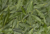 Bay leaves texture, background made of laurel leaves