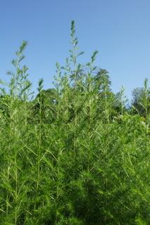 Artemisia scoparia, Besenbeifuss, redstem wormwood