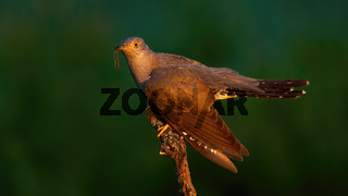 Common cuckoo eating worm on wood in summer evening