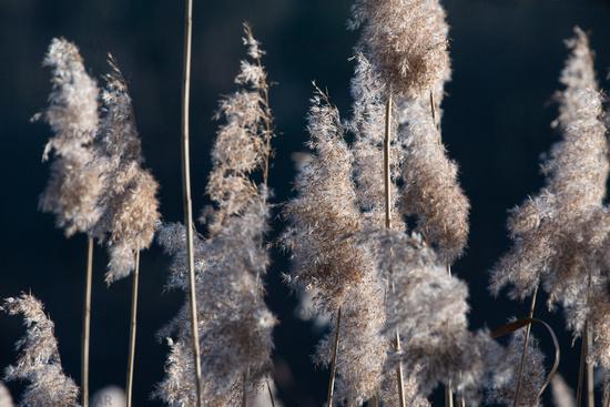 common reed close to Lipnitzsee