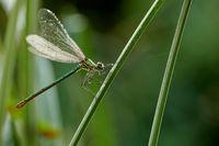dragonfly hunting Calopterygidae