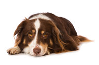 Australian shepherd dog lying isolated on white background