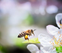 Bee flying to white apple blossoms.