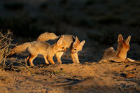Cape foxes (Vulpes chama) at their den in early morning light