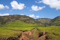 Tea fields, Uganda