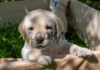 Labrador puppy portrait