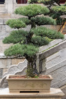 pine bonsai tree in spring