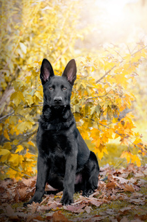 Hund, Deutscher Schäferhund, schwarz sitzt im Herbst vor einem Baum