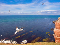 Northern gannets on the red cliffs of the high sea island Helgoland, Germany