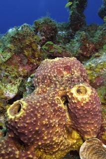 Tube Giant Sponge, Caribbean Sea, Playa Giron, Cuba