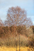 Landscape with large birch in the High Fens in Belgium