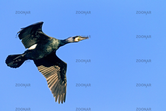 Great Cormorant in breeding plumage