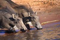 Warthog, Chobe National Park, Botswana