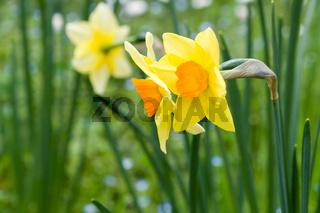 Narcissus flowers inside Rome Biopark