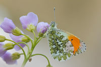 Orange tip butterfly (Anthocharis cardamine)