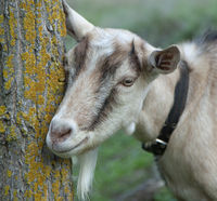 Goat. Portrait of a goat on a farm in the village