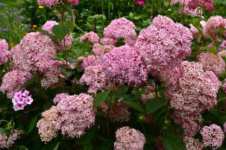 Rispen-Hortensie, Hydrangea paniculata,