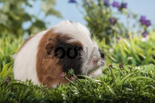 kleine Schweizer Teddy Meerschweinchen
