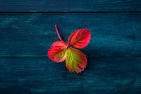 Colorful autumn leaf on a dark blue wooden background