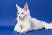 Lovely longhair cat breed Maine Coon Cat lies on blue background