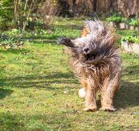 Tibetan terrier dog running in the garden