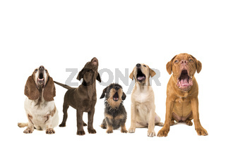 Group of dogs with various breeds looking up singing on a white background