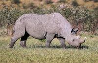 black rhinoceros, Namibia, Diceros bicornis