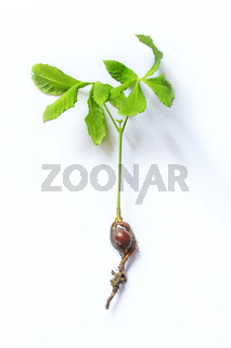 Chestnut tree sapling with roots on white background