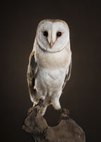 Barn owl looking at camera sitting on a tree trunk on a dark brown background