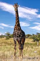very dark giraffe, Etosha National Park, Namibia
