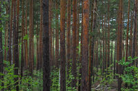 Trunks of young pine trees as a background.