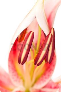 Prachtlilie (Lilium speciosum) Nahaufnahme