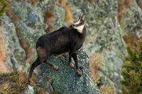 Tatra chamois climbing rocks in mountains in autumn nature