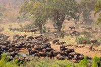 Large herd of African buffaloes (Syncerus caffer) at a river