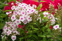 Garden Phlox, Phlox paniculata