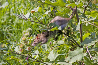 Wanderratte / Rattus norvegicus